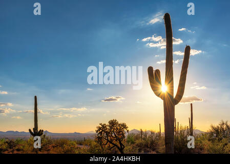 Giant Saguaro cactus at sunset in Sonoran desert, Phoenix, Arizona. - Stock Photo