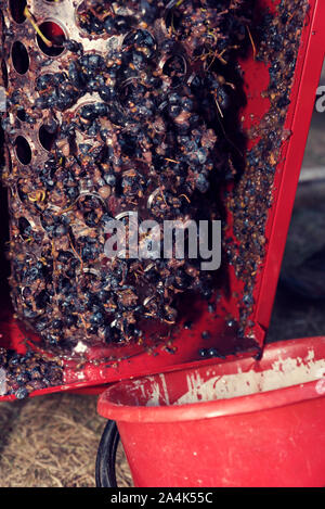 Waste after grapes crushing. Domestic wine-making. Selective focus - Stock Photo