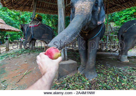 Phuket, Thailand: elephant is chained by its foot to an anchor in the cement. The vast majority of these elephants are captured from the wild.