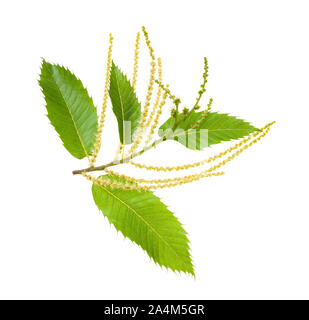Chestnut branch with catkins isolated on white - Stock Photo