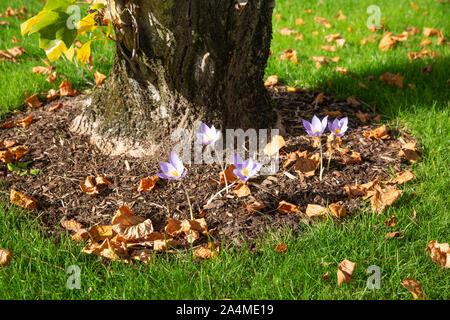 Colchicum autumnale near a tulip tree in autumn - Stock Photo