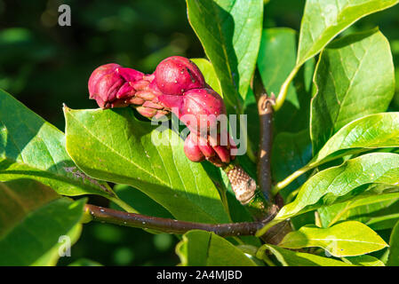 Magnolia grandiflora seeds - Stock Photo