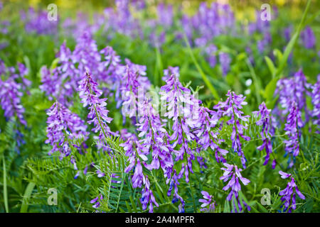 Beautiful lilac meadow flowers. Natural background with copy space. Soft selective focus. - Stock Photo