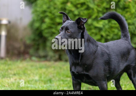 A little black dog outdoors in green grass. The dog is a mixed of a Labrador retriever.