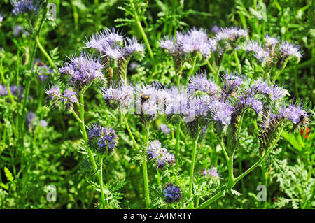 Bumble bee, Bombus terrestris, and green beetle Oedemera nobilis on flowers of Phacelia tanacetifolia, Scorpion Weed, growing at the side of a lane. - Stock Photo