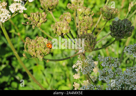 Seven spot Ladybird (Coccinella septempunctata) on sedd head of Hogweed (Heracleum sphondylium.) - Stock Photo