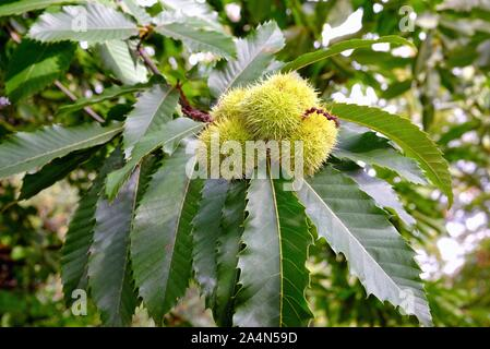 Close up of an edible chestnut, Castanea Sativa, in it's spiny case still on the tree - Stock Photo