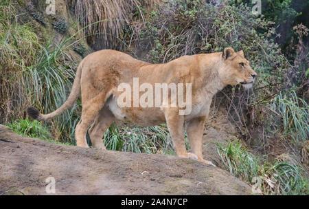 Lion (panthera). Cuenca, Ecuador - Stock Photo