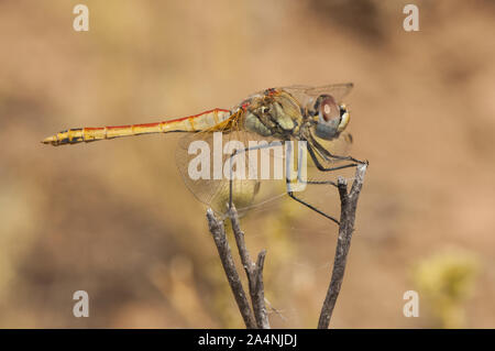 Sympetrum fonscolombii The red-veined darter or nomad dragonfly very common throughout the south of the Iberian Peninsula in all kinds of waters even - Stock Photo