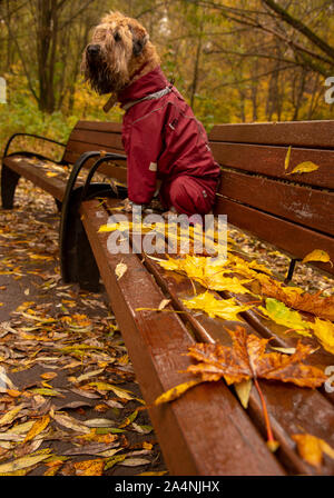 Wet wheat Terrier in waterproof overalls sitting on a bench in the Park. - Stock Photo