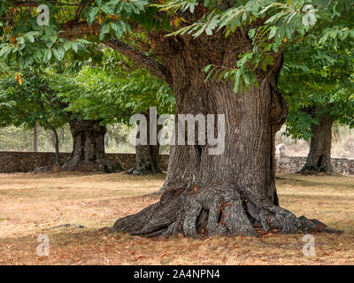 Thousand year-old big sweet chestnut tree with a very thick trunk. Sanabria, Zamora, Spain - Stock Photo