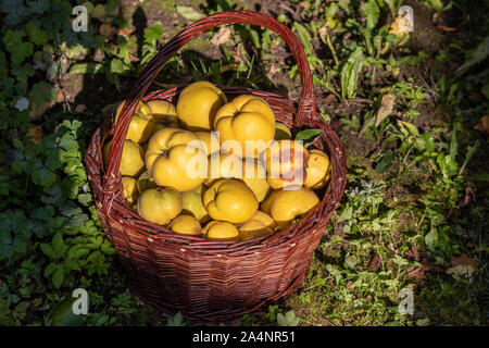 Wicker basket full of ripe quinces harvested in autumn - Stock Photo