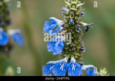 Bog Sage Flowers in Bloom - Stock Photo
