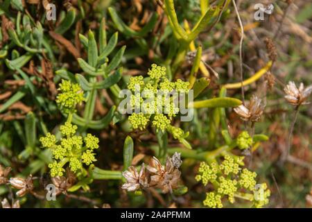 The greeny yellow flowers  of a rock samphire (Crithmum maritimum) - Stock Photo