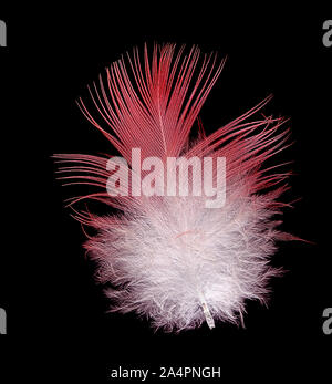 pink and white galah bird feather isolated on black background - Stock Photo