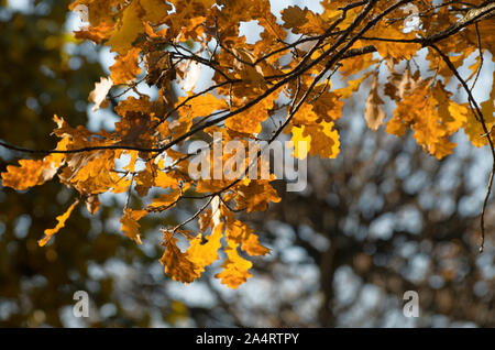 Sunlit oak branch with yellow leaves in Indian summer on a blurred background - Stock Photo
