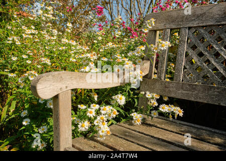 Beautifully blooming white aster flowers growing around an old weathered wooden bench on a sunny day in an October garden in Germany - Stock Photo