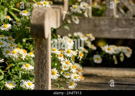Beautifully blooming white aster flowers growing around parts of an old weathered wooden bench on a sunny day in an October garden in Germany - Stock Photo