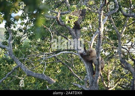 Katmai National Park, Alaska. U.S.A. June 26-28, 2019. Coastal brown bears at Brooks Lodge - Stock Photo