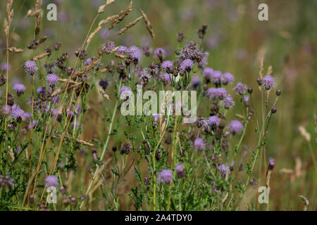 Acker-Kratzdistel, Ackerkratzdistel, Kratzdistel, Ackerdistel, Distel, Cirsium arvense, Creeping thistle, Canada thistle, field thistle, way thistle, - Stock Photo