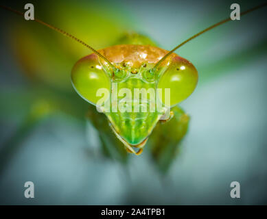 Macro shot on the eyes of a green praying mantis. - Stock Photo
