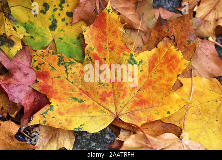 Detailed close up view on colorful maple leaves in autumn - Stock Photo