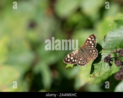 Speckled Wood Butterfly, Pararge aegeria, Kent, UK, wings open in sunshine at edge of woods - Stock Photo