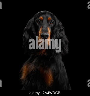Portrait of English Setter Dog Gazing on Isolated Black Background - Stock Photo
