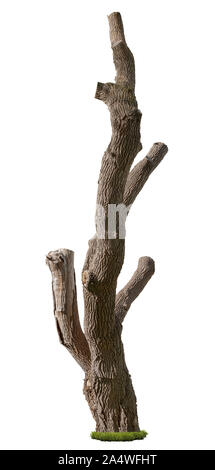 Cutout pruned tree. Old tree trunk. Dead tree stump isolated on white background. High quality clipping mask . Bare tree without branches. - Stock Photo