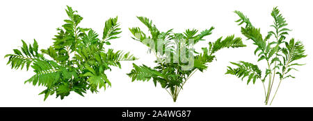 Cutout wild plant. Bush of leafy branches. Foliage of fern plant isolated on white background. Green plant. High quality clipping mask - Stock Photo