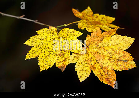 Bigtooth maple leaves turning gold in October in the Cascade Mountains of central Oregon. - Stock Photo