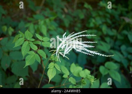 creamy- white flowers of Aruncus dioicus plant - Stock Photo