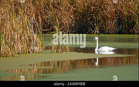 Trumpeter Swans, Cygnus buccinator, glide slowly on an algae encrusted pond in Central Oregon - Stock Photo