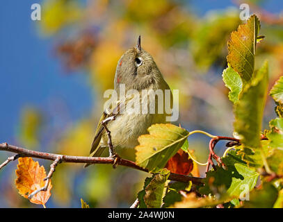 Portrait of a Yellow Warbler, Setophaga petechia, on a willow branch in central Oregon. - Stock Photo
