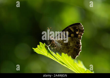 Speckled Wood Butterfly, Pararge aegeria, Sandwich, Kent UK, resting on leaf in sunshine in woodland, underside of wings - Stock Photo