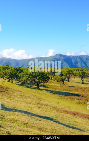 Beautiful landscape in Fanal, Madeira, Portugal. Old laurel trees and hills in the background. The Madeiran laurissilva is a local natural heritage. Paul da Serra, mountain plateau. Laurel forests. - Stock Photo