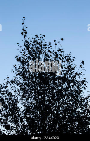 A silhouette at dusk of a Himalayan birch tree Betula utilis against an inky blue evening sky - Stock Photo
