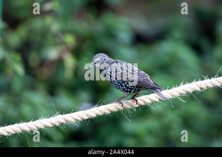 Single adult Starling Sturnus vulgaris perching on a piece of sisal rope in a domestic garden - Stock Photo