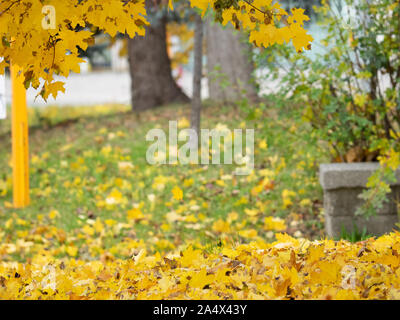 Golden yellow sugar maple tree leaves covering the ground with background blurred.