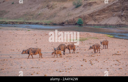 Landscape with a small herd of African buffalo walking across a dry river bed in late afternoon light image with copy space in horizontal format - Stock Photo