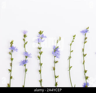 Cichorium intybus - common chicory flowers isolated on the white background - Stock Photo