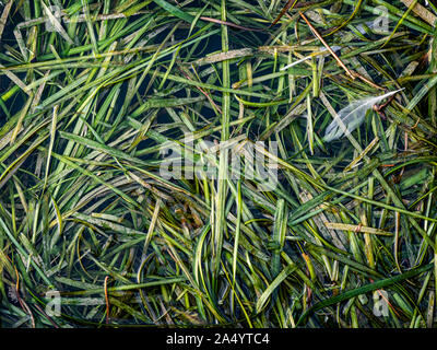 Seaweeds leaves floating on the water of a lake - Stock Photo