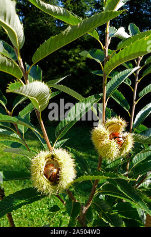 Close up of Branch With split open Chestnut Bur - Stock Photo