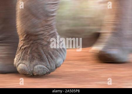 African elephant (Loxodonta africana) feet, Zimanga game reserve, KwaZulu-Natal, South Africa - Stock Photo