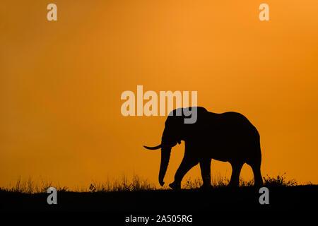 African elephant (Loxodonta africana) at dusk, Zimanga game reserve, KwaZulu-Natal, South Africa - Stock Photo