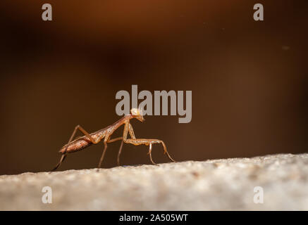 portrait of a brown european praying mantis.close up ,room for copy. - Stock Photo