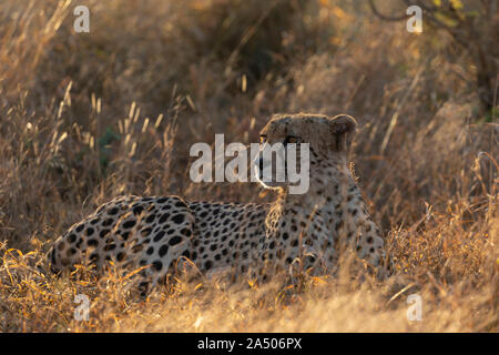 Cheetah (Acinonyx jubatus), Zimanga private game reserve, Kwaqulu-Natal, South Africa - Stock Photo