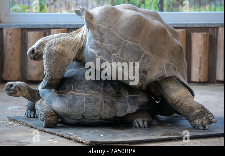 17 October 2019, Saxony, Hoyerswerda: The only pair of Galapagos giant tortoises in Germany, Bert and Jolante, mate in the renovated turtle house at Hoyerswerda Zoo. The turtles can weigh up to 300 kilograms and live to be about 170 years old. The turtle house was extensively energetically reorganized and can be used since beginning of the year by the animals. Photo: Jens Büttner/dpa-Zentralbild/ZB - Stock Photo