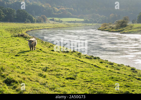 Highland cattle, Oberweser, Weser Uplands, Weserbergland, Hesse, Germany - Stock Photo