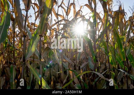 Ripe cornfield in October, animal feed, Oberweser, Weser Uplands, Hesse, Germany, Europe - Stock Photo